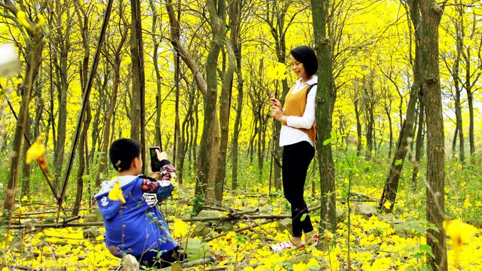 黄花风铃木盛放 满山醉人的绚丽黄