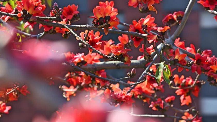 """英雄树""""燃""""了,红遍羊城!广州350岁木棉树绽放如火焰"""