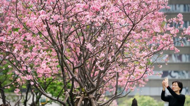 行道树花开满街 一路春色盎然