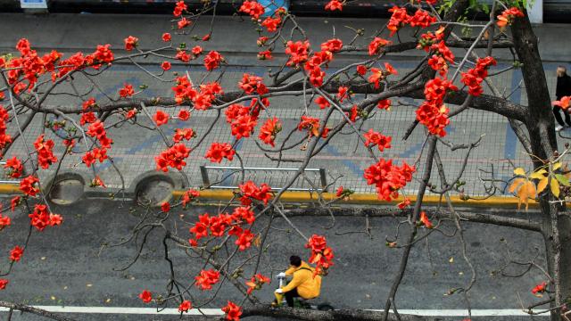 陵园西路木棉竞相开放,一片红红火火非常壮观