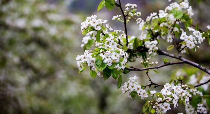 梨花带雨 山溪野径处处景