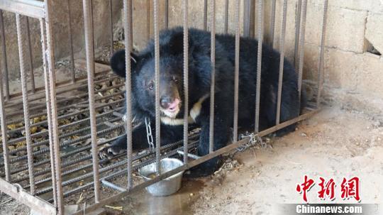 云南丽江一村民误把熊当狗养了3年 发现后被没收