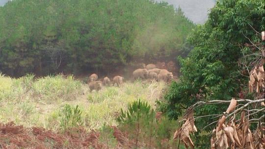 西双版纳勐海县发生野象攻击 一男子被踩踏导致死亡