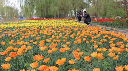新疆五家渠开启郁金香花季 200万株郁金香供游客免费观赏