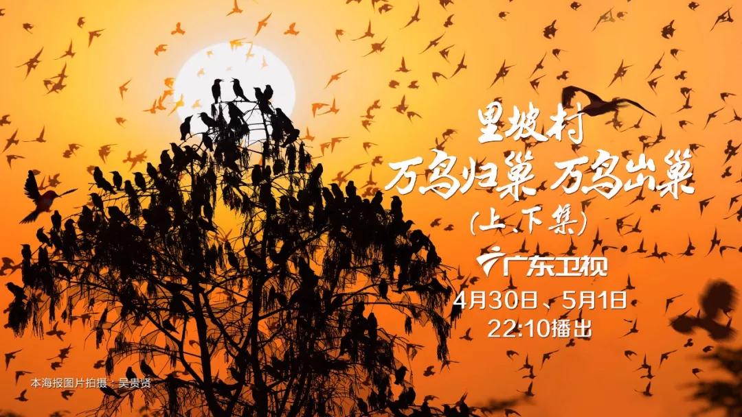 """""""万鸟归巢""""的壮丽奇观,里坡村十四年的守护"""