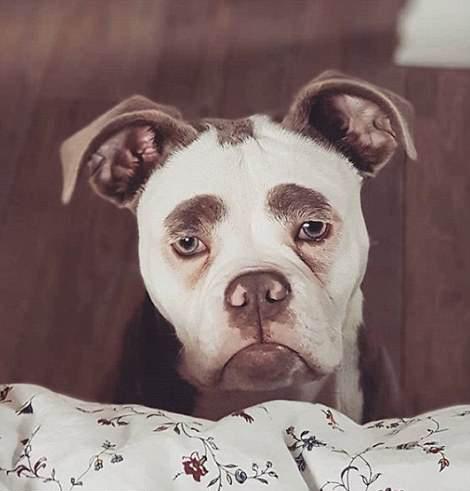 """牛犬因愁眉不展被称""""世界最悲伤小狗"""