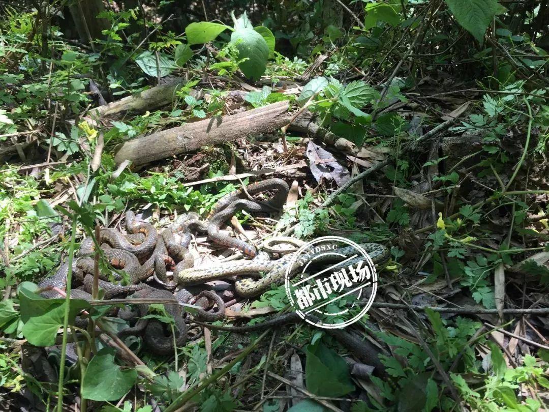南昌截获并放生5千只鸟兽2千条蛇:含眼镜蛇五步蛇
