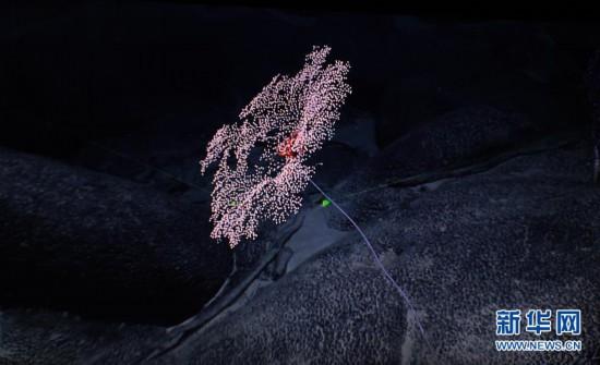 """发现""""号深海机器人在太平洋探秘""""富钴结壳区"""""""