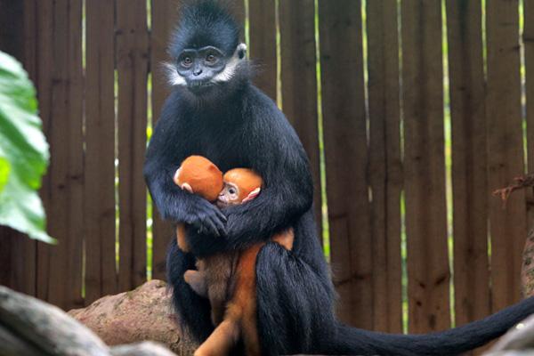 """""""猴界大熊猫""""在广州产下世界首例双胞胎,母亲节当天成功抢镜!"""