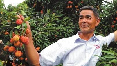 广东荔枝整体产量大增 受暴雨影响优质荔枝或涨价