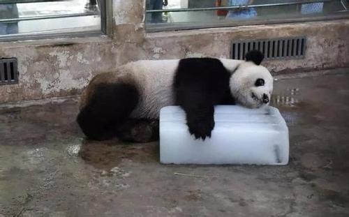 武汉大熊猫被质疑受虐待 动物园:饲养员已停职