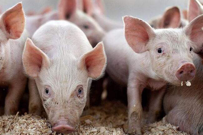 猪价尚未走出下降周期 供需基本面并未反转
