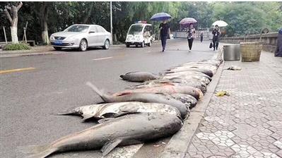 重庆一高校捞出数条大鱼 校方:不吃了 卖掉买鱼苗