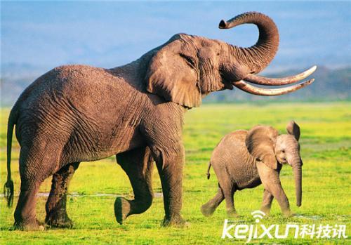"""大象为何不易患癌?""""僵尸基因""""或是关键原因"""