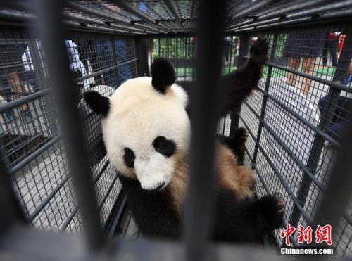 中国首批高纬度饲养大熊猫返川参与繁殖计划(图)