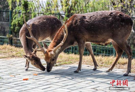 酷暑难耐!雄鹿下海乘凉 吓坏京都海水浴场游客