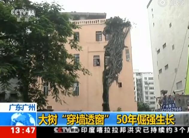 """罕见!广州一株大树""""穿墙透窗"""",长在居民楼里近50年"""