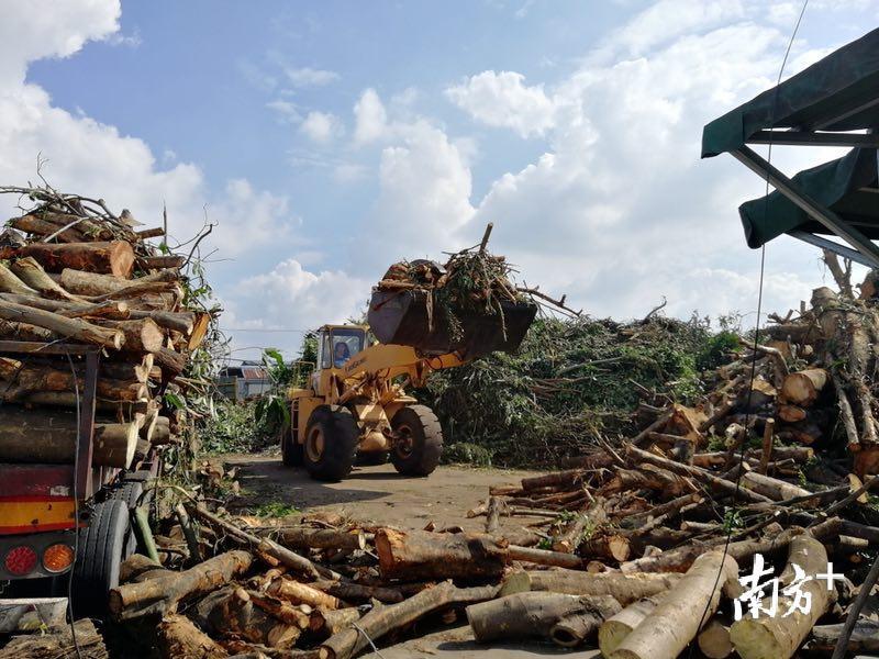 """台风""""山竹""""过后,倒伏树木去哪儿了?"""