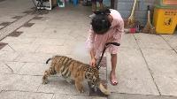 9岁女孩在公园遛老虎!其父:老虎还小,没有攻击性