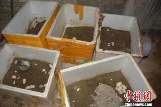 图为还未孵化的蛇蛋。红河州森林公安局供图