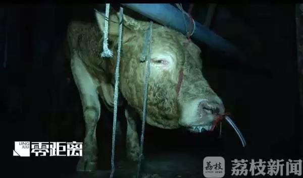 注水120斤黄牛痛到跪倒 官方:屠宰点负责人已被控制
