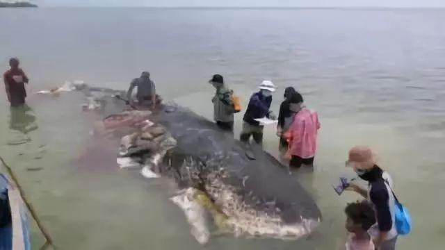 肚子塞了6公斤塑料垃圾的抹香鲸,它到底经历了什么?
