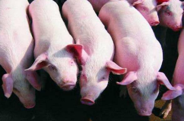广东官方:珠海非洲猪瘟疫情有效处置 港澳生猪供给稳定