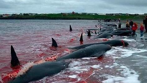 日媒:日本拟退出国际捕鲸委员会 以重启商业捕鲸