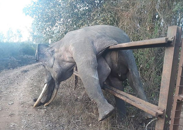 心痛!印濒危大象为觅食翻农场篱笆被卡窒息而亡