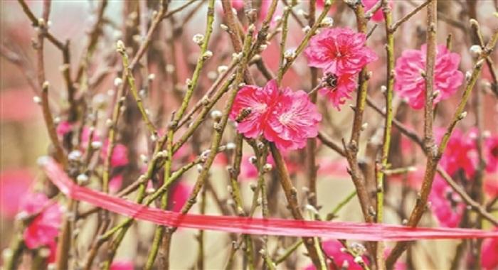 桃花朵朵开今年桃花价格涨两成