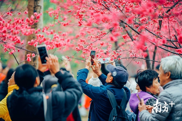 华农校园樱花盛开了!校外车辆进入需提前预约