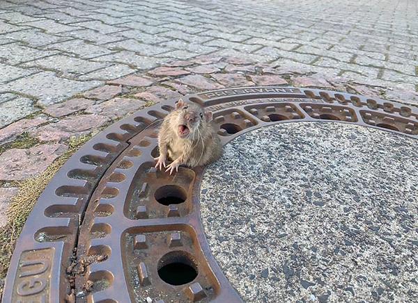 德国老鼠因太胖被卡井盖上 专家和消防员暖心救援