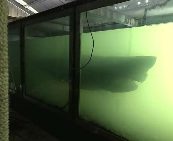 澳废弃动物园惊现大白鲨尸体引众人探险