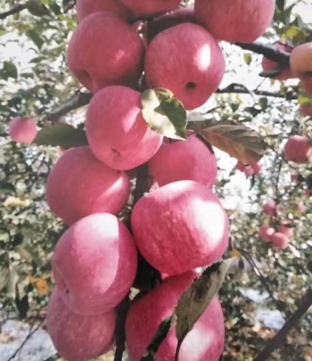 7万吨延安苹果南下,丰富老广中秋餐桌!300元可认养一棵果树
