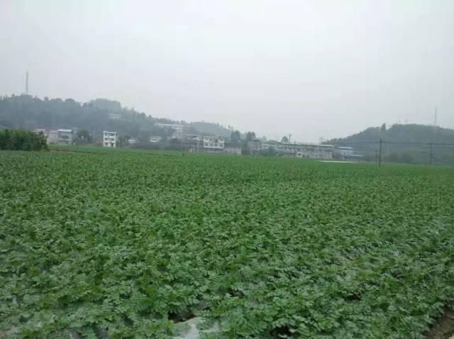 一棵蔬菜的旅程:直击广东蔬菜供应全链条