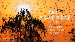 """""""萬鳥歸巢""""的壯麗奇觀,里坡村十四年的守護"""