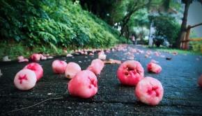 在广州,有一种水果落得满地都是,却无人捡拾