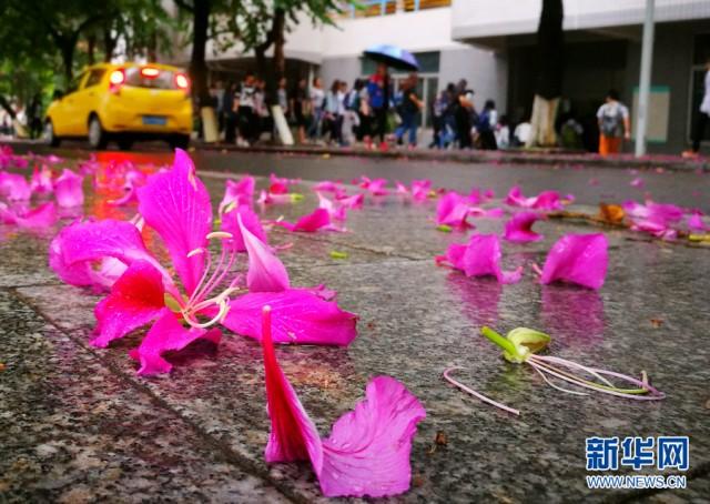 小雪时节到了,南方的广东省,悄悄的下起了小雨,而这场小雨,不只带来了凉意,还带来了一场浪漫的邂逅。这场邂逅是洒满一地的紫荆花,是空气中洋溢着淡淡的花香,是雨中的肇庆,还有那迷人的紫红色。在美丽的肇庆学院,紫荆花吹落的花瓣铺就了一条紫色大道,这一地花落,不免让人联想到落红不是无情物,化作春泥更护花的意境。新华网 发 谢永平摄